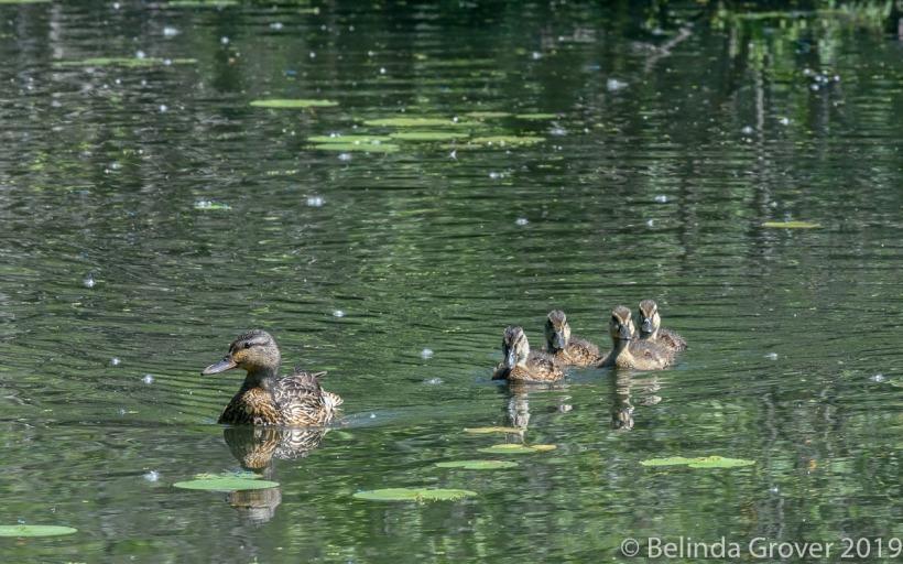 Mallard &chicks 2