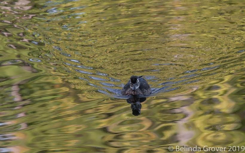 F. Wood duck