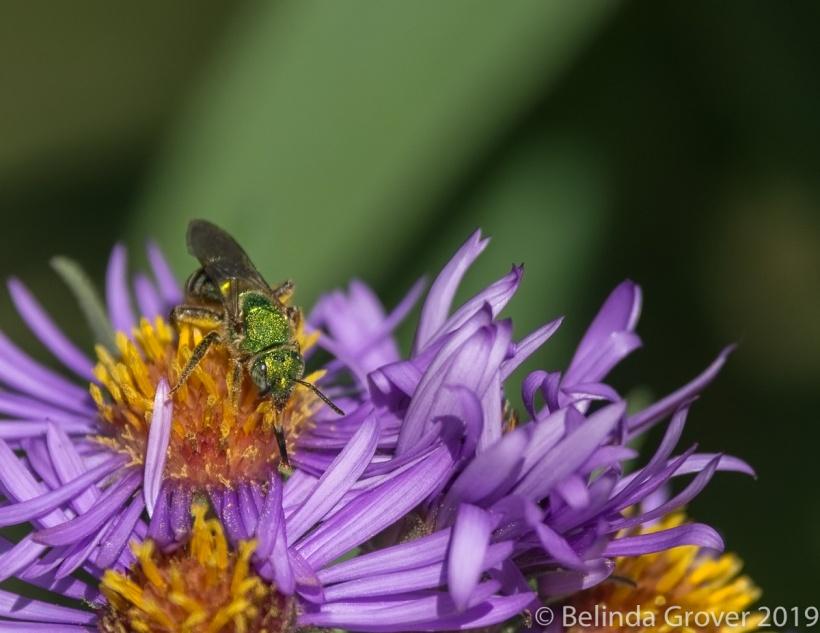 Metallic Bee