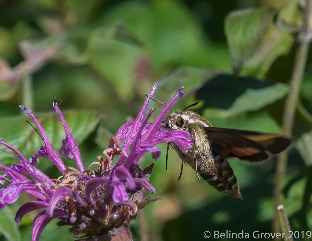 Hummingbird Moth-2