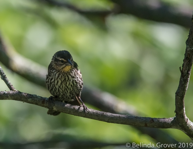 R W Blackbird