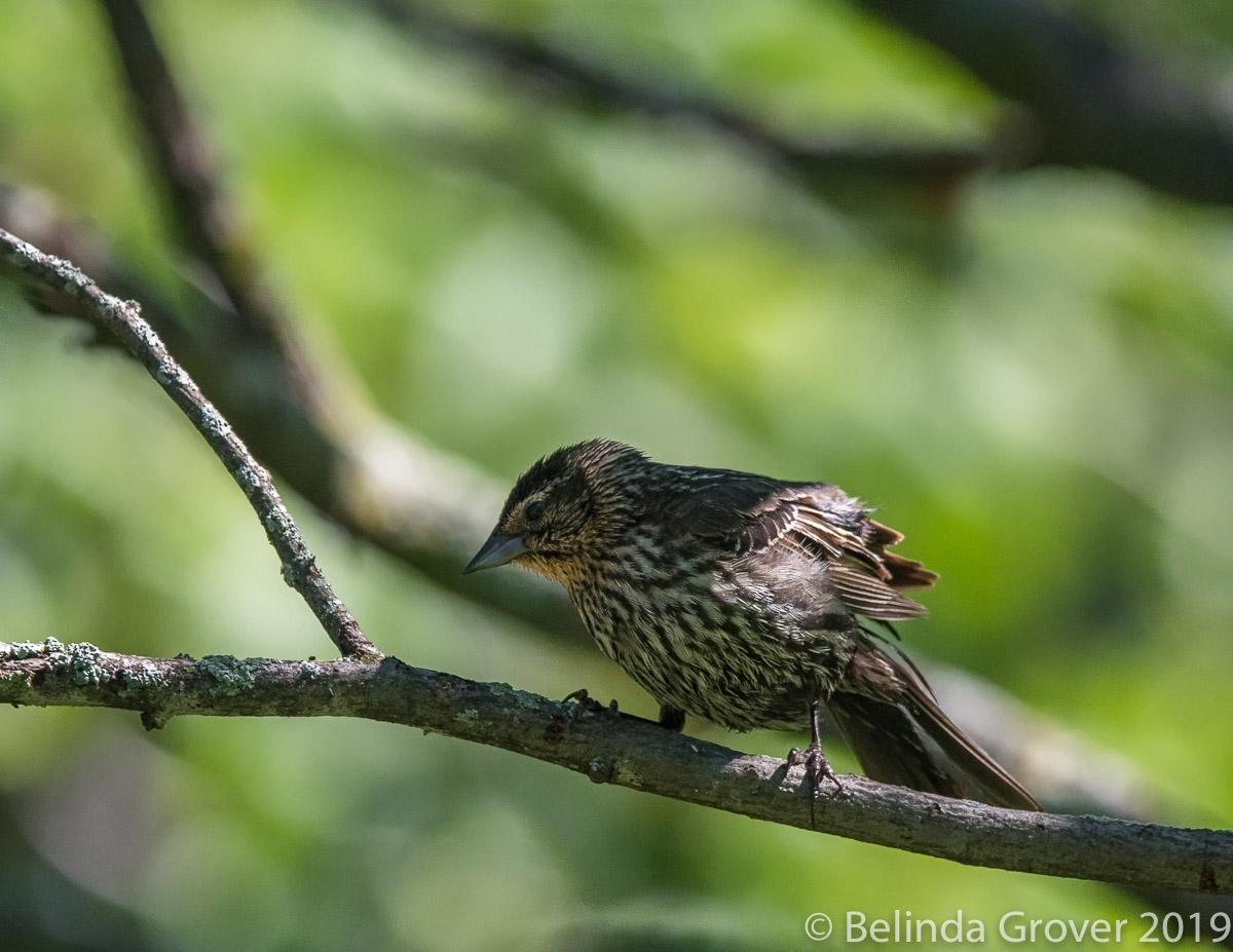 F RW Blackbird
