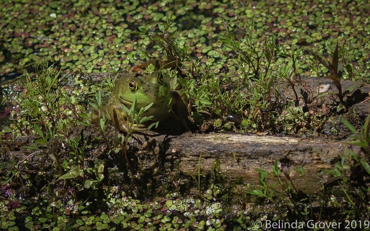 Frog.jpg
