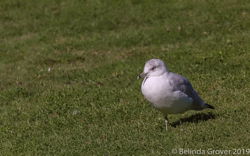 Ring billed gulls-2