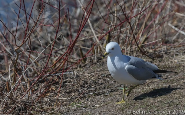 Ring billed gulls