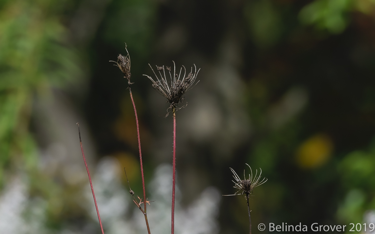 Queen Anne's Lace- 2