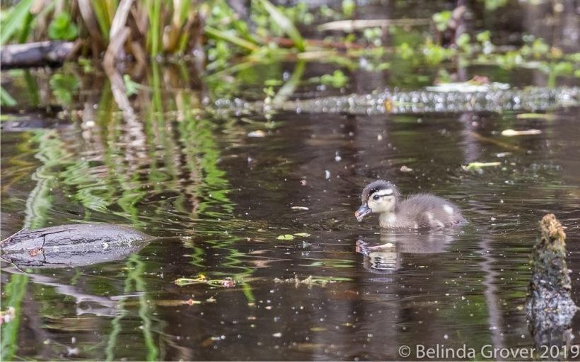 W duckling