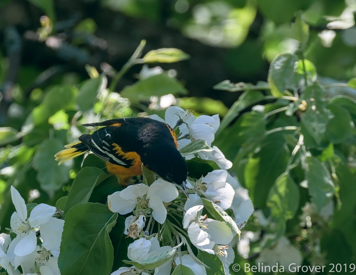 Baltimore Oriole-2