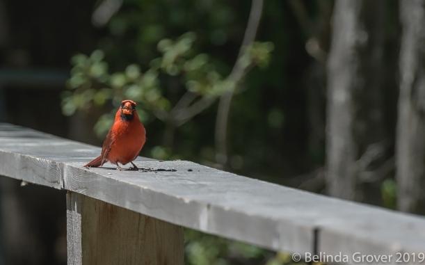 Cardinals-2