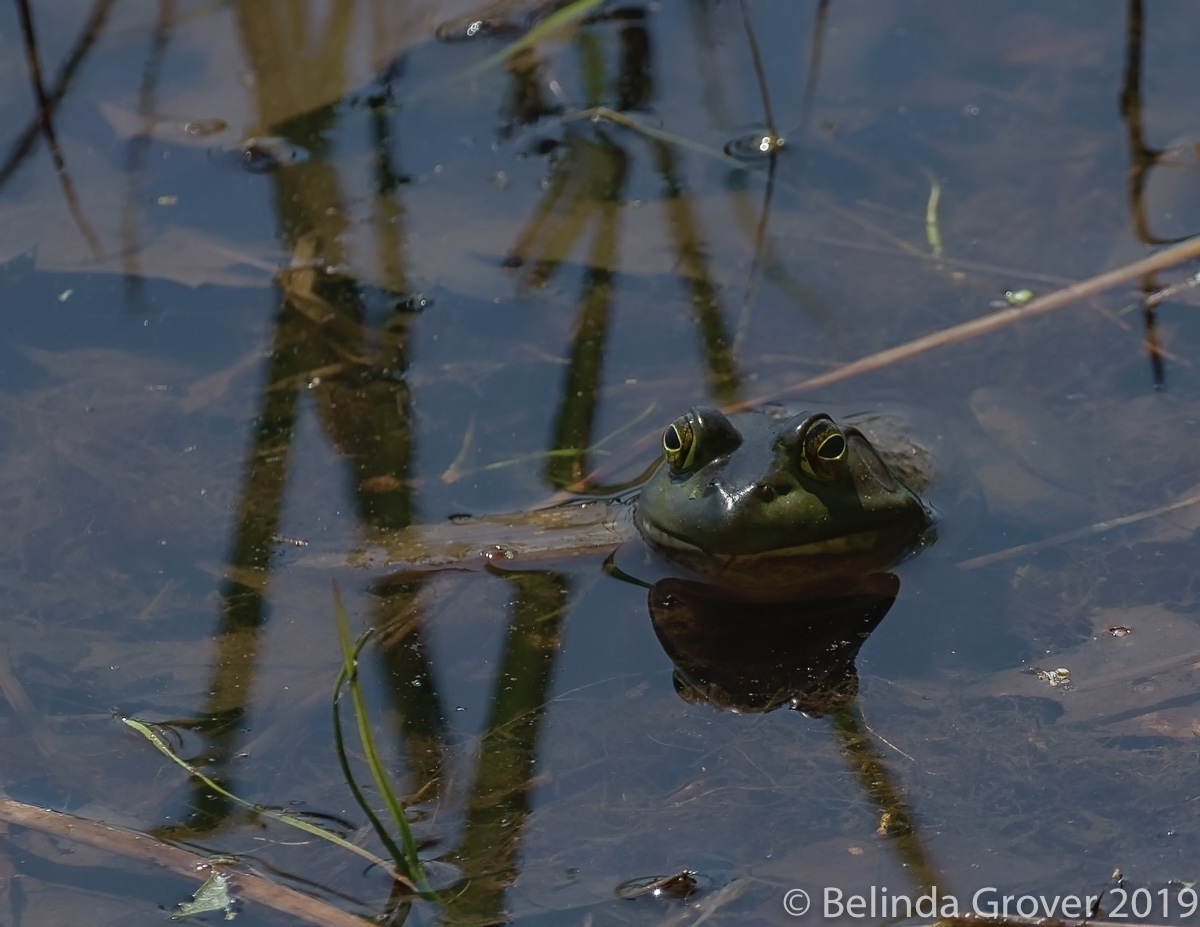 Frog 2