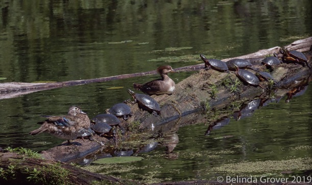 Merganser & turtles