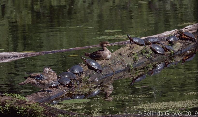 Merganser & turtles