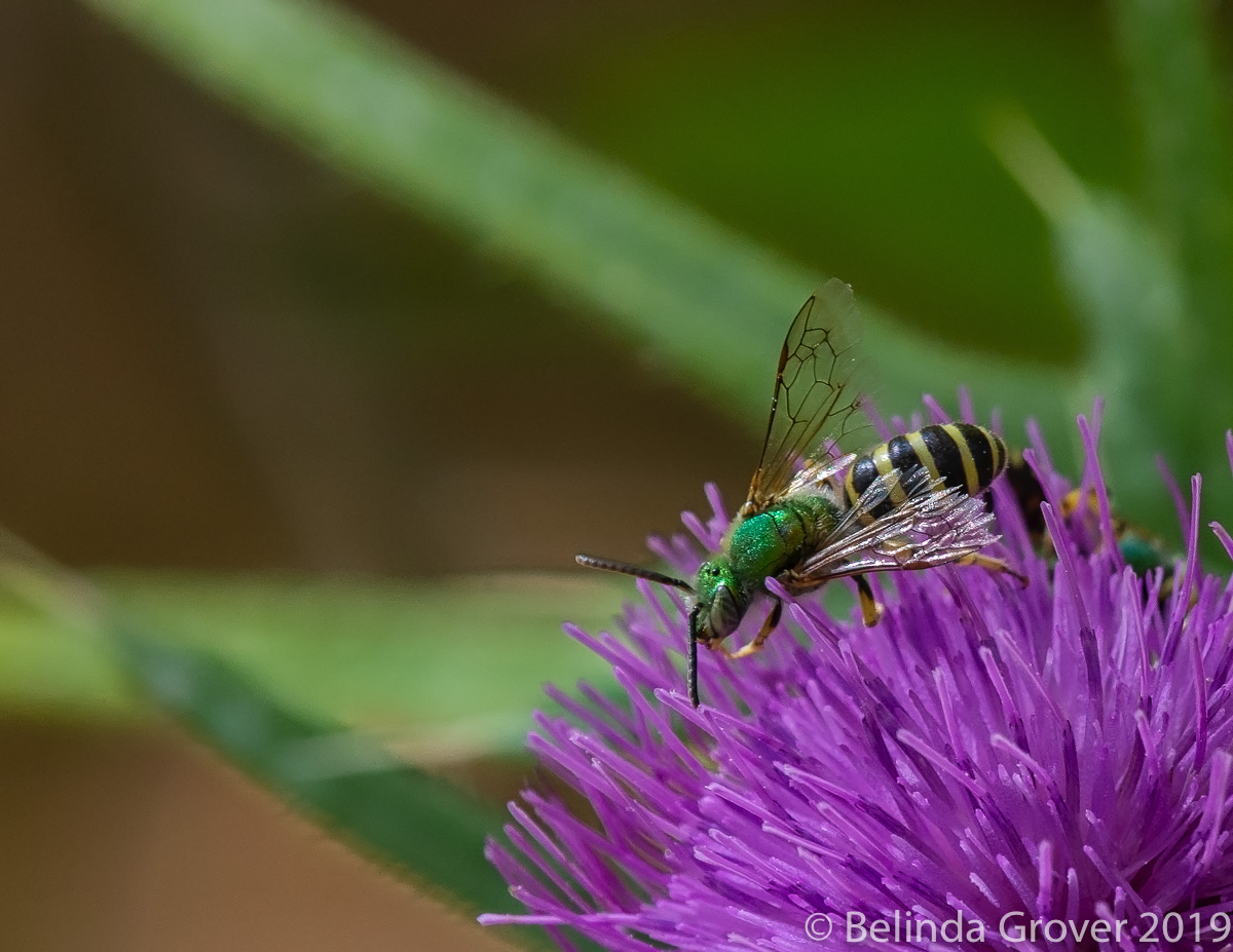 Sweat Bees-2