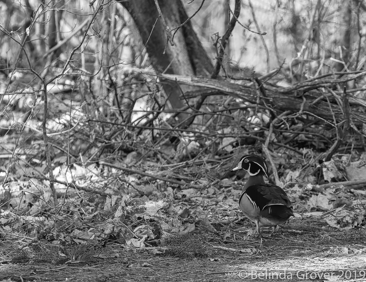 Wood duck 2