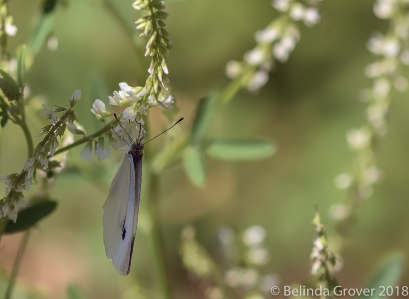 Cabbage Whites-2