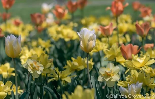 Tulips-2
