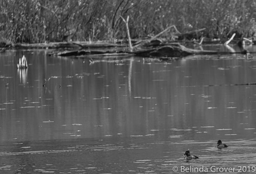 Ringbilled duck