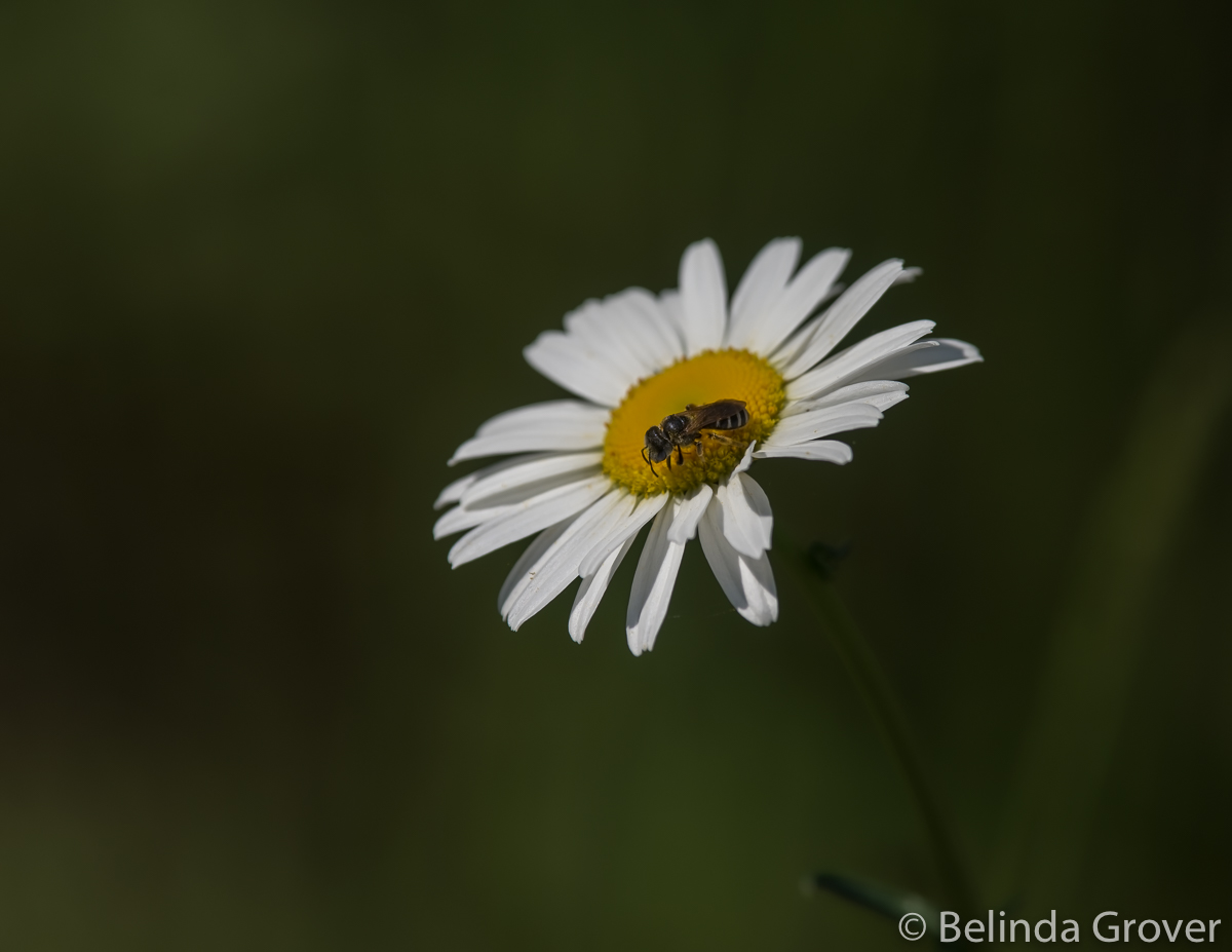 Daisies & friend