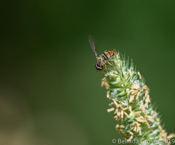 Mimic Fly